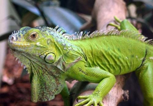 iguana-1398623534kn4g8